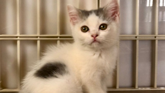 cat,small to medium sized cats,cat like mammal,whiskers,kitten