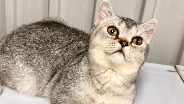 cat,mammal,small to medium sized cats,cat like mammal,dragon li