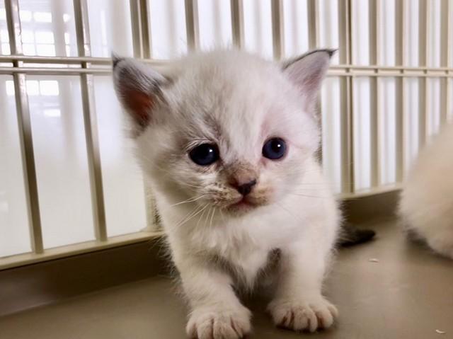 cat,burmilla,small to medium sized cats,cat like mammal,whiskers