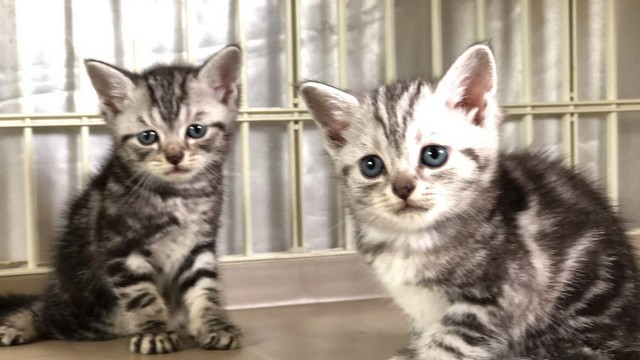 cat,small to medium sized cats,dragon li,cat like mammal,american shorthair