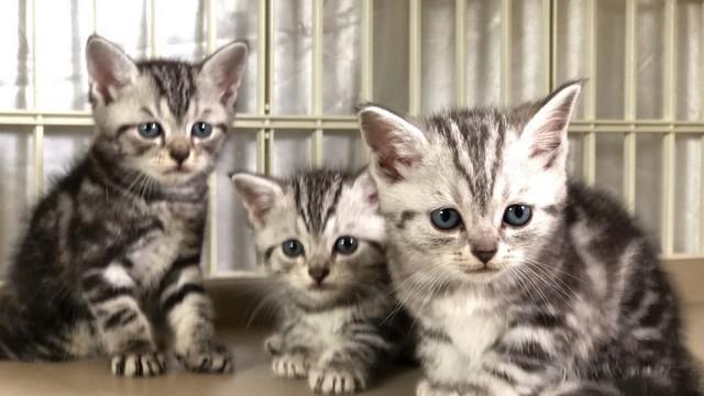 cat,small to medium sized cats,mammal,dragon li,cat like mammal