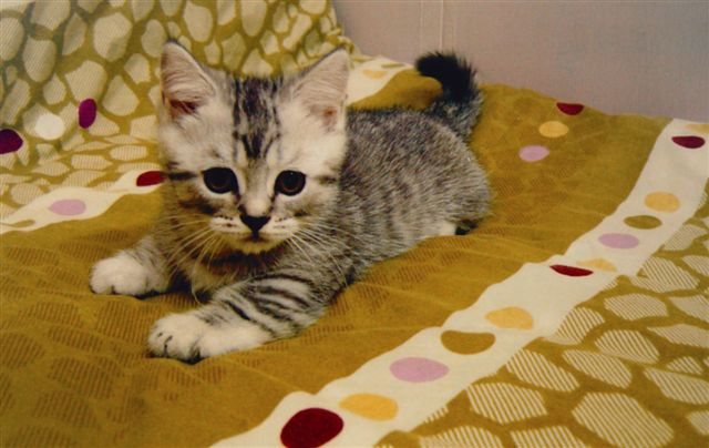 cat,small to medium sized cats,cat like mammal,american shorthair,whiskers