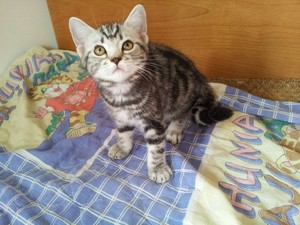cat,dragon li,small to medium sized cats,cat like mammal,american shorthair