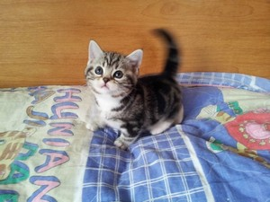 cat,small to medium sized cats,cat like mammal,american shorthair,kitten