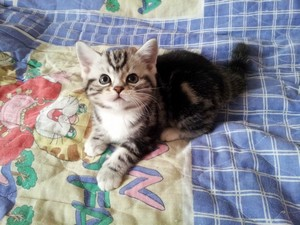 cat,small to medium sized cats,cat like mammal,kitten,american shorthair
