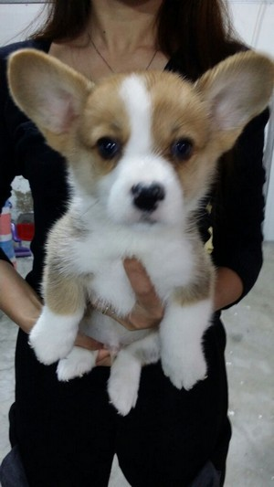 dog like mammal,dog,dog breed,welsh corgi,dog breed group