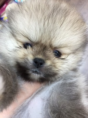 dog,dog like mammal,dog breed,pomeranian,mammal