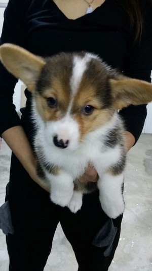 dog,dog like mammal,dog breed,dog breed group,welsh corgi