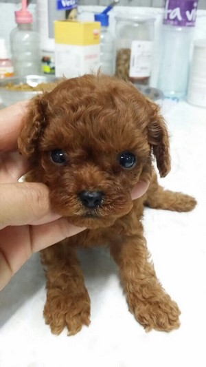 dog like mammal,dog breed,dog,toy poodle,dog breed group