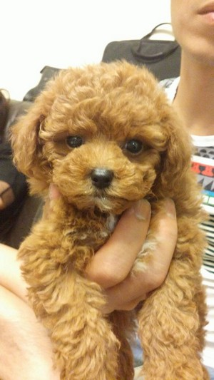 dog like mammal,dog,dog breed,miniature poodle,toy poodle