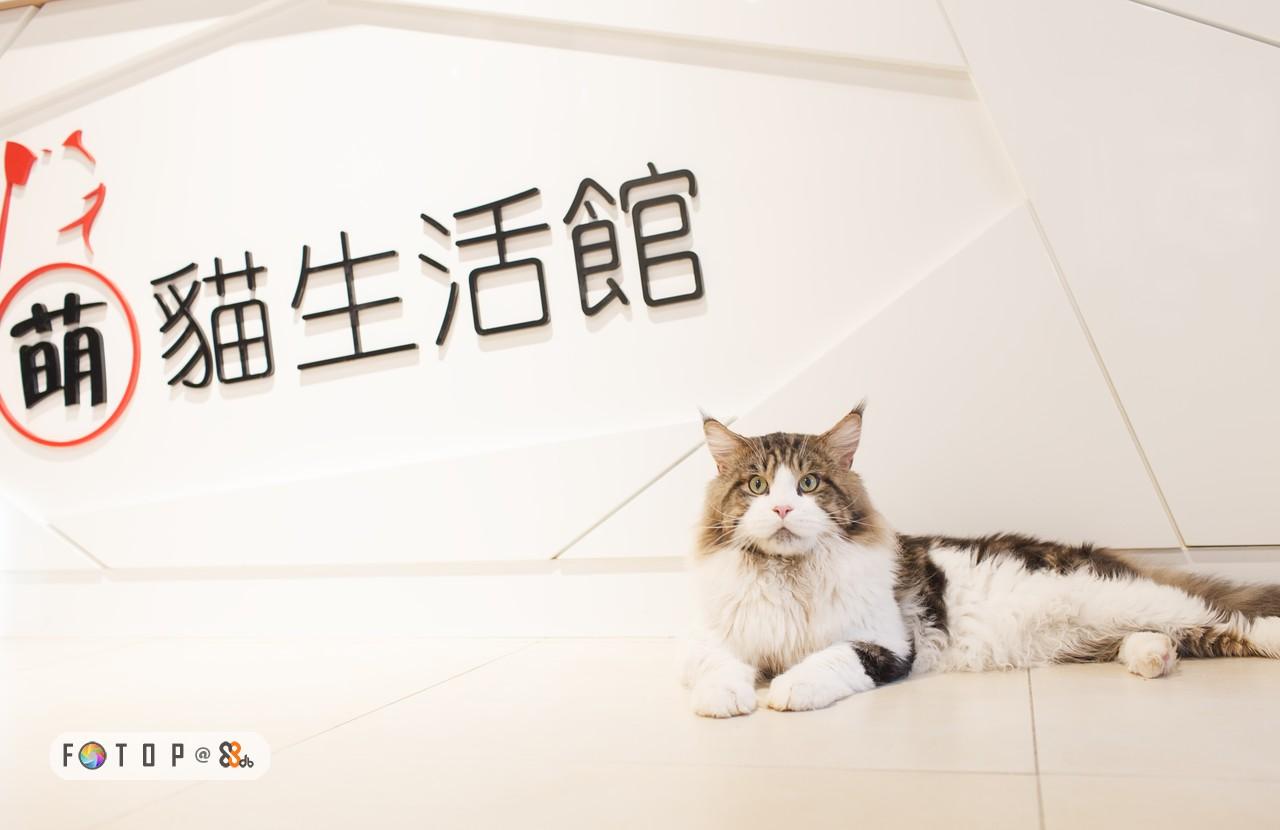 萌貓生活館 FOT O P @ &,cat,small to medium sized cats,cat like mammal,whiskers,photo caption