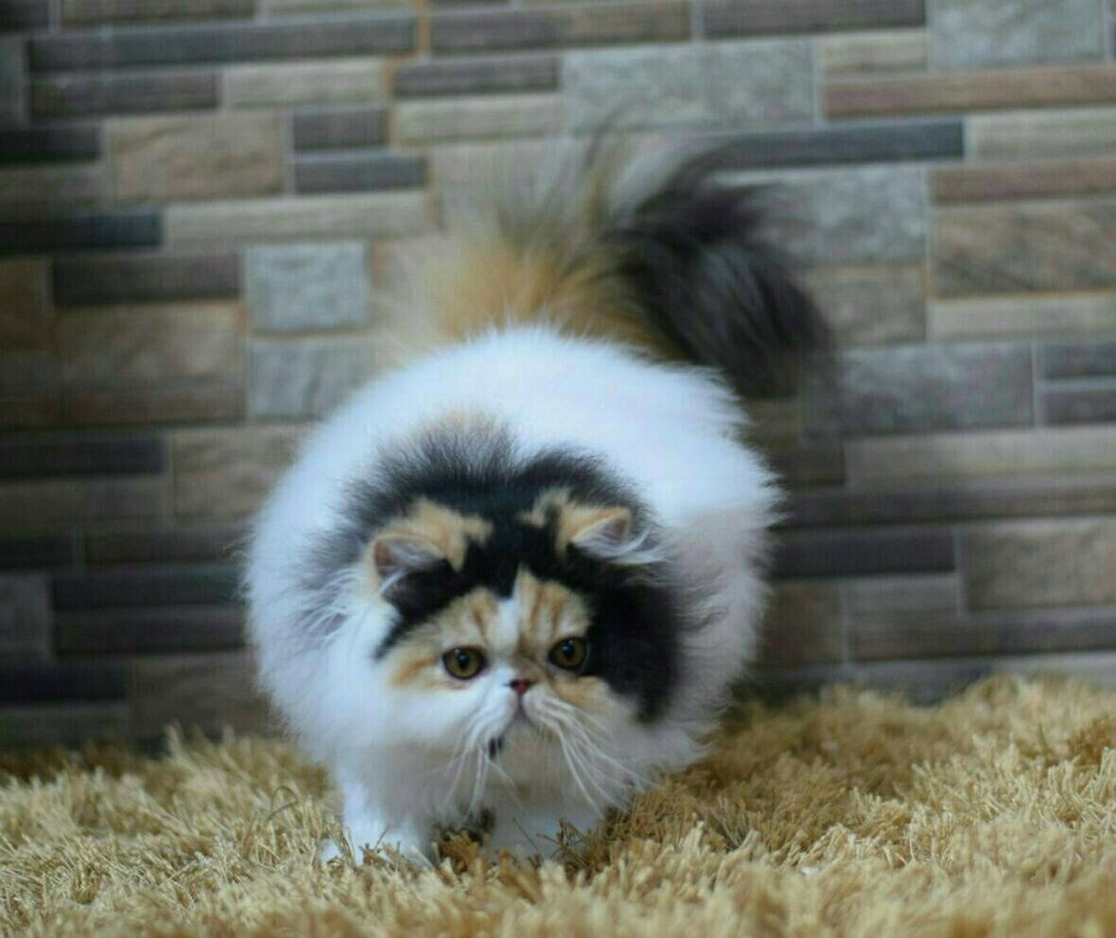 cat,small to medium sized cats,cat like mammal,whiskers,persian