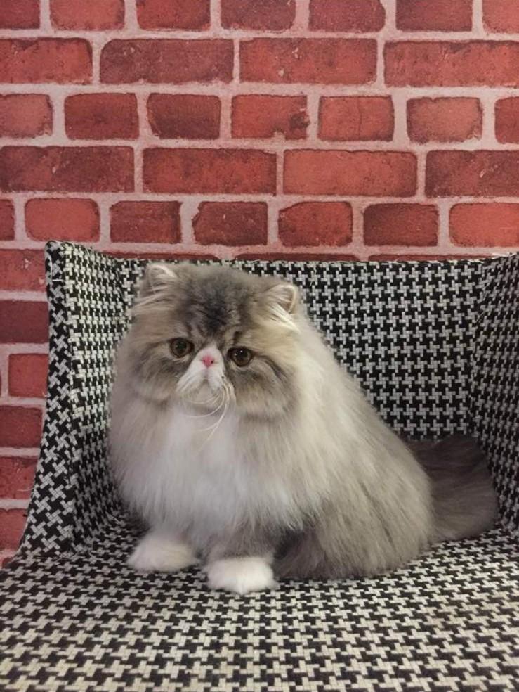 cat,small to medium sized cats,whiskers,cat like mammal,persian
